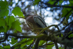 Green Heron Butorides virescens Royalty Free Stock Images
