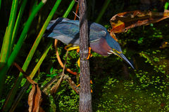 Green Heron  (Butorides virescens) perched on tree trunk. Stock Photography