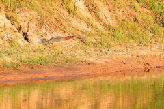 Free Green Heron, Butorides Virescens, Searches For A Meal In Bald Knob Wildlife Refuge In Bald Knob Royalty Free Stock Image - 97122126