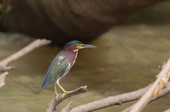 Green Heron Royalty Free Stock Photography