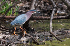Green Heron (Butorides virescens) Stalking its Prey. In a pond Stock Images