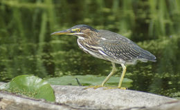 Green Heron (Butorides virescens) Stock Image