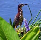 Green Heron (Butorides virescens) Royalty Free Stock Images