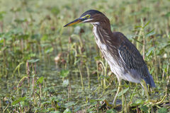 Green heron (Butorides virescens) in a swamp Stock Images