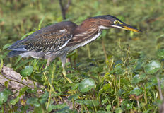 Green heron (Butorides virescens) in a swamp Royalty Free Stock Image