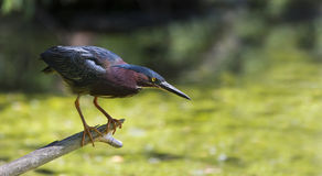 Green Heron (Butorides virescens virescens) Stock Images