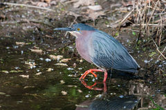 Green Heron (Butorides virescens virescens) Royalty Free Stock Photography