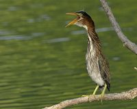 Green Heron calling Royalty Free Stock Image