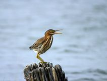Green Heron Calling from old pilling Royalty Free Stock Photos