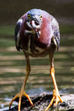 Green heron catch Stock Image