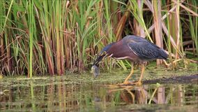 Green Heron Catches and Eats a Fish stock video footage
