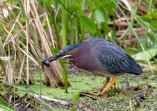 Green Heron catching tadpole Stock Image