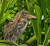 Green Heron Chick Stock Images