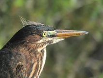 Green Heron Close-up portrait Stock Image