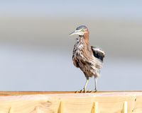 Green Heron Royalty Free Stock Image