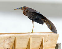 Green Heron Royalty Free Stock Photo