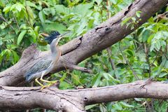 Green Heron with Crest on Log Stock Photos