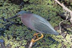 A Green Heron Stock Photos