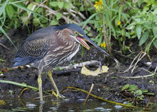 Green Heron Eating a Green Frog royalty free stock photography