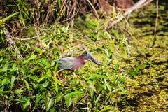 Green heron Royalty Free Stock Photo
