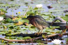 Green Heron. A green Heron with it feathers ruffled surrounded by water lilies Stock Image