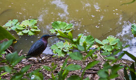 Green Heron fishing near the river bank  Royalty Free Stock Photo