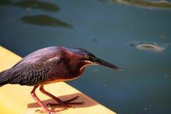 Green heron fishing Royalty Free Stock Image