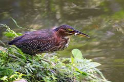 Green heron fishing in a wildlife park Royalty Free Stock Photo