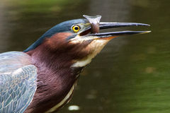 Green heron with fishtail Royalty Free Stock Image