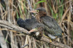 Green Heron Fledglings Stock Images