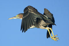Green Heron In Flight Stock Images