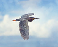 Green Heron Stock Images