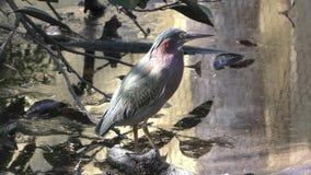 Green heron stock footage