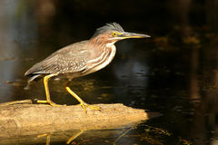 Green Heron in Florida Everglades Stock Photos