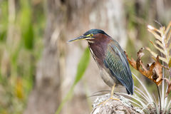Green Heron Stock Photos