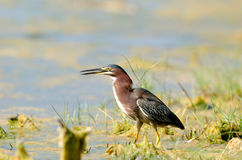 Green heron in Florida swamp Royalty Free Stock Photo