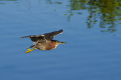 Green Heron Glide Stock Photography