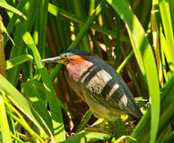 Green Heron in Grass by Pond Butorides Virescens Stock Photo
