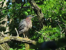 Green heron. The green herons favorite perch  surrounded with heavy foliage Royalty Free Stock Photo