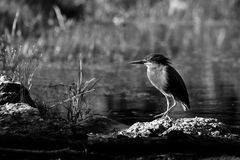 Green Heron in High Dynamic Range hdr (Butorides virescens vires Royalty Free Stock Images