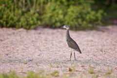 Green Heron Royalty Free Stock Image