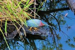 Everglades - Green Heron on the Hunt - Anhinga Trail Royalty Free Stock Image