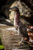 Green heron. Hunting on the edge of a pond Royalty Free Stock Images