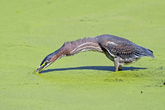 Green Heron Hunting Stock Image