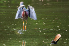 Green Heron hunting Stock Photography