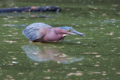 Green Heron hunting Royalty Free Stock Images