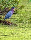 Green Heron Hunting stock photography