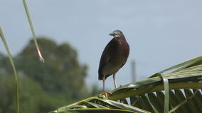 Green heron in 4K stock video