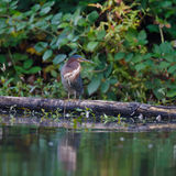 Green Heron on a log Stock Image