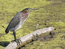 Green Heron on log Stock Photos
